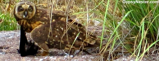 Short-eared Owl, Genovesa Island, Galapagos
