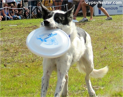 Disc-Connected K-9 Frisbee Dog