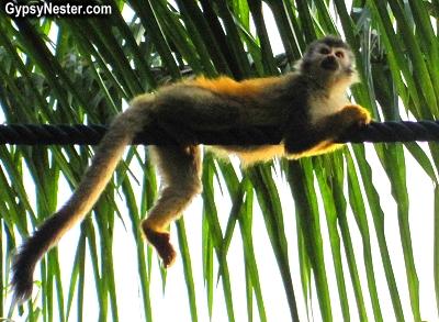 A squirrel monkey on a monkey bridge in Manuel Antonio, Costa Rica