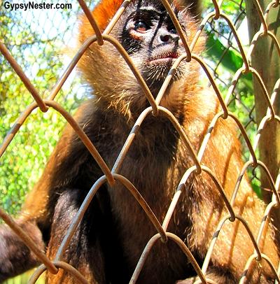 Geoffroy's spider monkeys  at Kids Saving the Rainforest in Quepos, Costa Rica