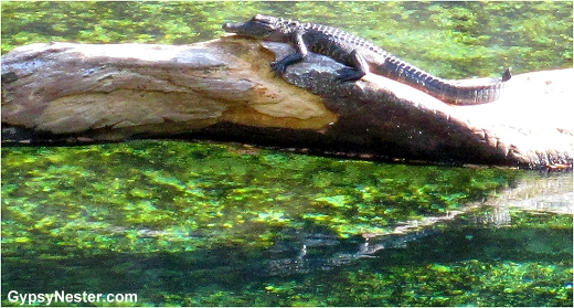 An alligator at Blue Springs State Park, Florida