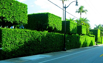 Out of control hedges in Palm Beach