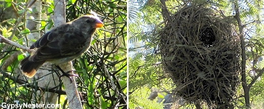 A Darwin Finch and his nest in the Galapagos