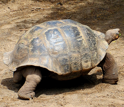 Giant tortoise at the Breeding Center on Isabela Island