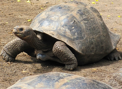 Giant tortoise at the Breeding Center on Isabela Island in the Galapagos