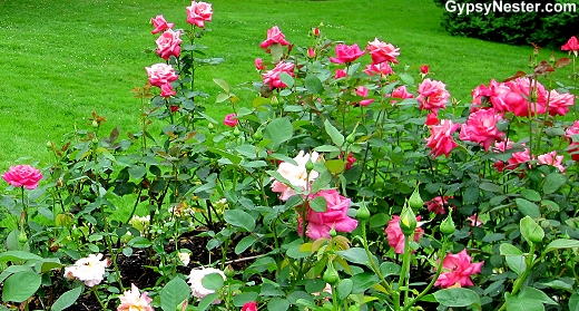 Pink Roses in The Public Gardens in Halifax, Nova Scotia, Canada
