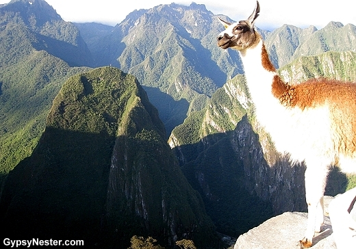 The llamas of Macchu Picchu