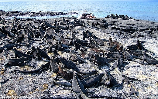 Thousands upon thousands of endemic marine iguanas have made their home at Punta Espinoza
