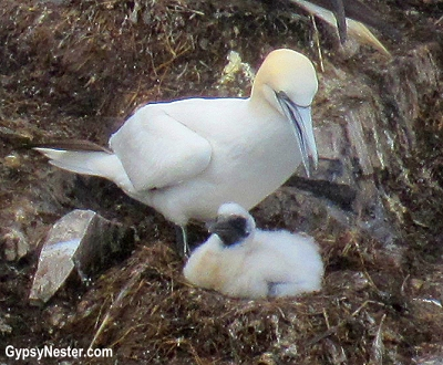 Gannets with chicks on Bird Island in Cape St. Mary's Ecological Reserve, Newfoundland