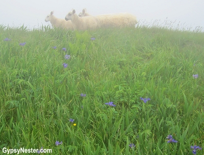 Sheep in the fog at Cape St. Mary's in Newfoundland