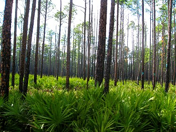 Palms and trees in the Okefenokee Swamp