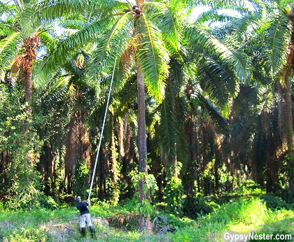 Long sticks with knives on the end are used to harvest oil palms in Costa Rica.
