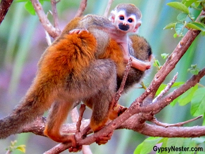 A squirrel monkey baby rides his mother's back on the grounds of Parador Resort and Spa in Costa Rica.