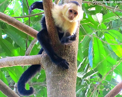 A white faced capuchin monkey on the grounds of Parador Resort and Spa, Manuel Antonio, Costa Rica