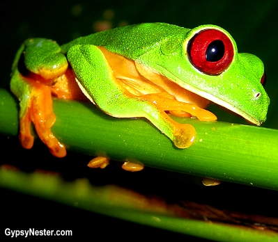 A red eyed tree frog on the grounds of Parador Resort and Spa in Costa Rica