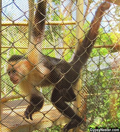 A capuchin monkey at Kids Saving the Rainforest in Quepos, Costa Rica