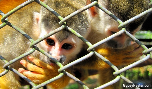 Many of the orphaned, rescued squirrel monkeys at Kids Saving the Rainforest suck their thumbs due to early weaning