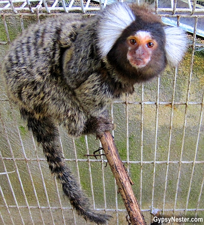 A marmoset at Kids Saving the Rainforest in Costa Rica